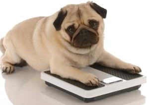 Pug on scale