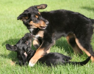 pups playing gsd mix